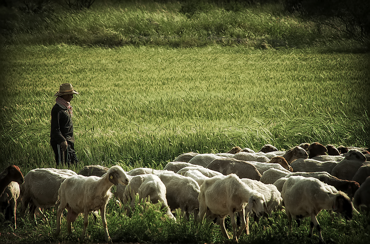 Shepherding in modern day Israel. Photo by Bashir Sheikh Yousef.