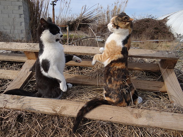 Rumor has it they're fighting over a mouse. Photo by Wikipedia user MagAloche.