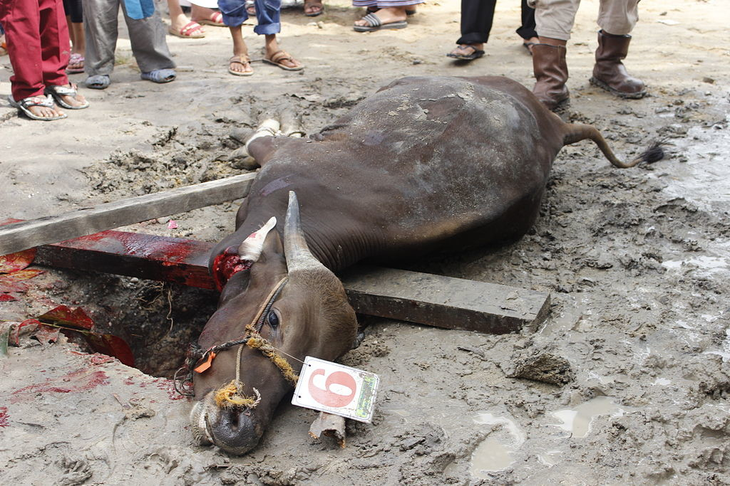Modern Islamic animal sacrifice. Photo by Wikipedia user Ramzy Muliawan